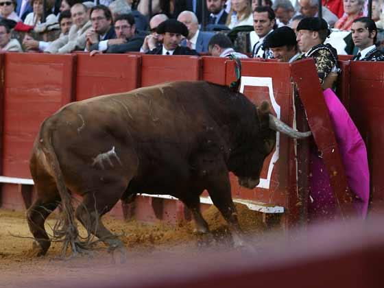 El toro, frente a la barrera.  Foto: Juan Carlos Muñoz