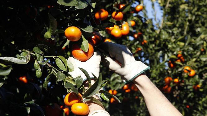 Varios trabajadores recogen la fruta en una plantación de la zona costera de la provincia.