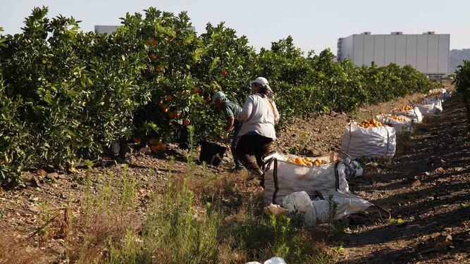 El sector citrícola aboga por el cultivo ecológico para abrirse al exteriorLos nuevos regadíos recuperarán las variedades tardías