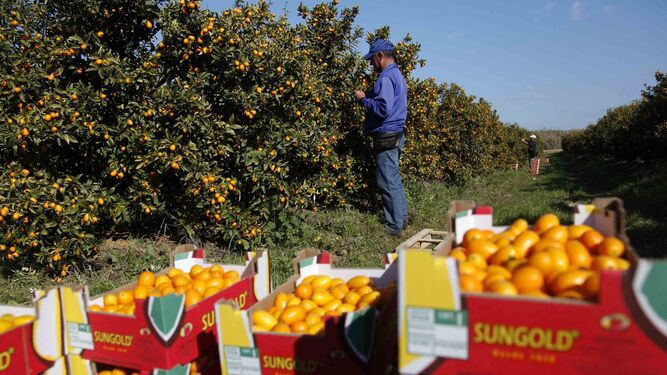 Un trabajador en plena campaña de recolección de mandarinas.