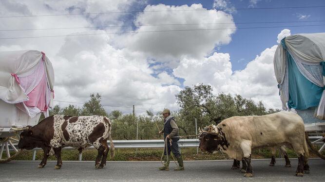 Dos bueyes tiran de dos carretas por una carretera sevillana.