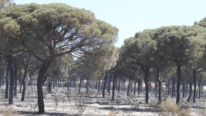 Las zonas de pinares por donde transitan las hermandades rocieras se vieron también afectadas, aunque se confía en su recuperación.