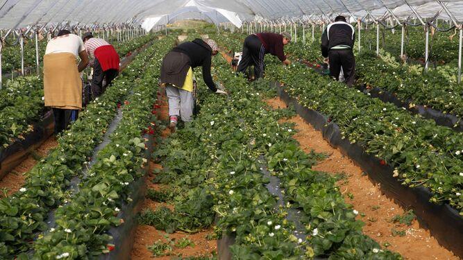 Un grupo de trabajadores en plena campaña fresera.