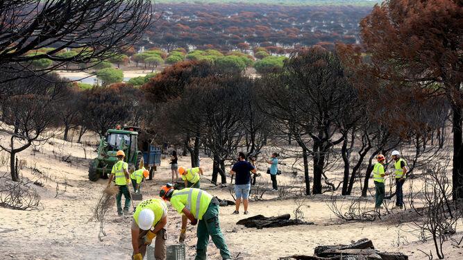 Los operarios comenzaron ayer la tareas de recuperación de las zonas afectadas por el incendio de Mazagón.