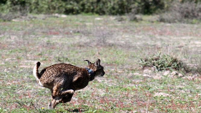 Suelta de un lince en el Parque Nacional de Doñana.