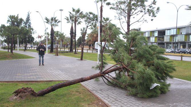 Un árbol caído por el viento.