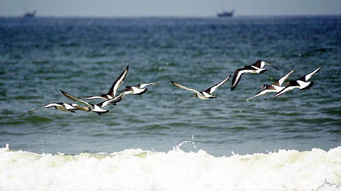 Bandada de ostreros a orillas del mar en terrenos del Parque Nacional de Doñana.