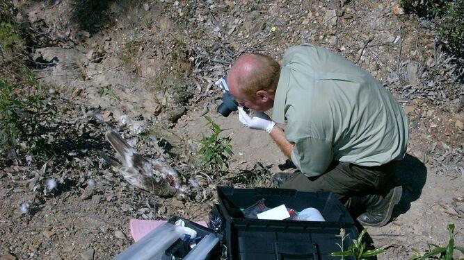 Un técnico de la Agencia de Medio Ambiente andaluza toma fotografías para investigar sobre la muerte de un ave rapaz en una zona rural de la provincia de Huelva.
