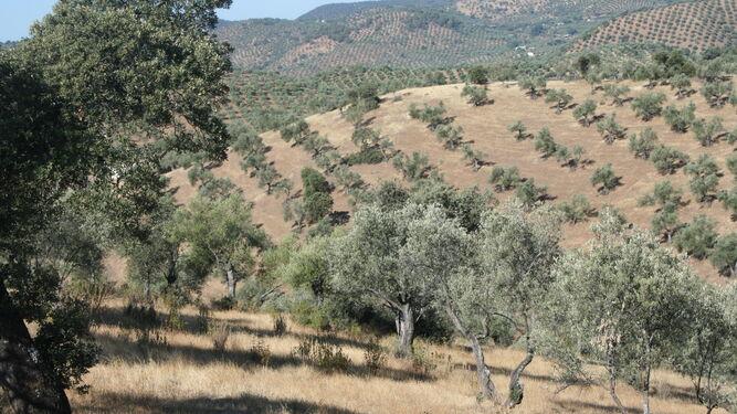¿Ecológico o tradicional?Comparar las formas de producir aceite de oliva
