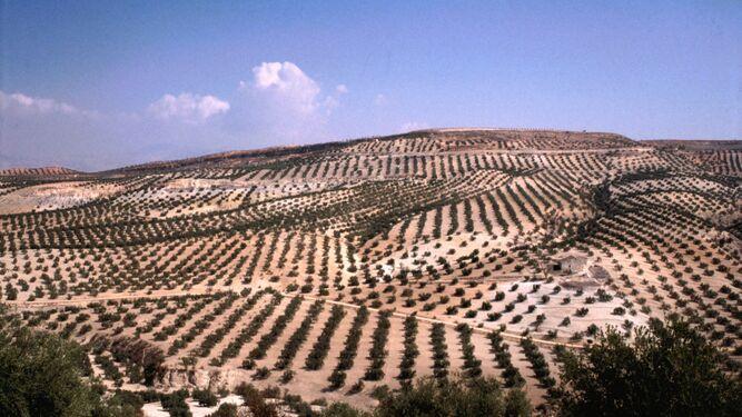 Los cánones de arrendamientos subieron en Sevilla en todos los sectores, salvo en el olivar de mesa de secano, único cultivo donde se aprecia un descenso.
