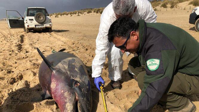 Los especialistas le tomaron medidas en la playa de Icona.