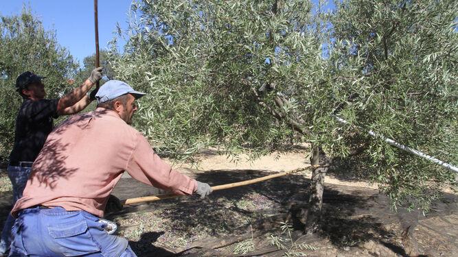 Jornaleros varean los olivos en una finca de la provincia onubense.