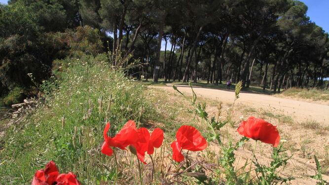 Amapolas crecen junto a uno de los caminos.
