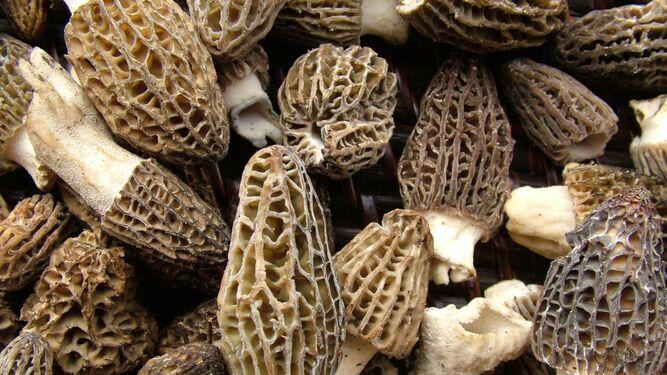 Colmenilla, cagarria: Morchella esculenta