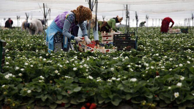 Recogida de la fresa en huelva 2017
