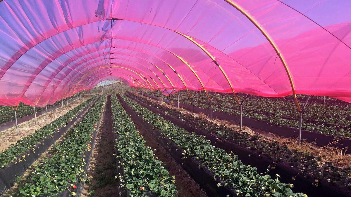 Un nuevo plástico luminiscente aumenta en un 61% la producción del arándano en Huelva