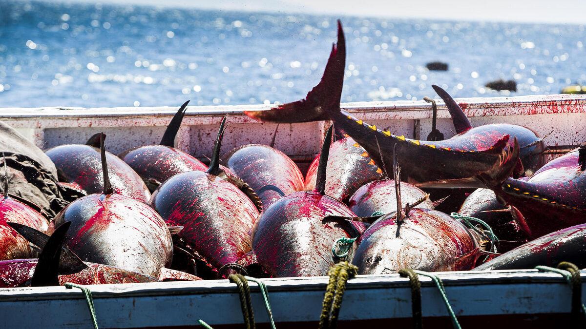 Tres patrones investigados por la pesca recreativa ilegal de atún rojo en Mazagón